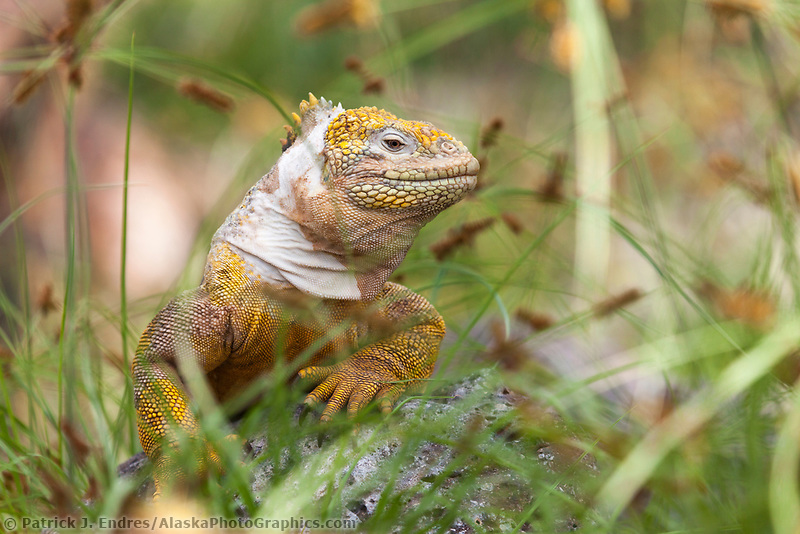 Male land iguana, South Plaza Island, Galapagos Islands, Ecuador