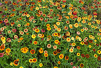 Zinnia 'Arizona Sunset' mixture of colors in summer annual bloom