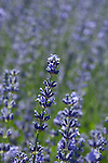 Lavender blooming in the field