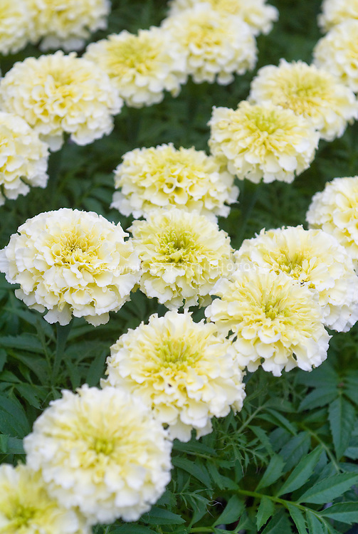 Marigold 'Sweet Cream' (Tagetes erecta) white hybrid annual flowers