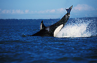 ns10. Orca (Orcinus orca) lob-tailing. British Columbia, Canada, Pacific Ocean. .Photo Copyright © Brandon Cole. All rights reserved worldwide.  www.brandoncole.com..This photo is NOT free. It is NOT in the public domain. This photo is a Copyrighted Work, registered with the US Copyright Office. .Rights to reproduction of photograph granted only upon payment in full of agreed upon licensing fee. Any use of this photo prior to such payment is an infringement of copyright and punishable by fines up to  $150,000 USD...Brandon Cole.MARINE PHOTOGRAPHY.http://www.brandoncole.com.email: brandoncole@msn.com.4917 N. Boeing Rd..Spokane Valley, WA  99206  USA.tel: 509-535-3489