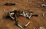 South America, Brazil, Amazon. Soil erosion and desertification. Drought, climate and environment change. Ranching country. Cow skeleton in dry ground where formerly it was rainforest.  2001.'MEAT' across the World..foto © Nigel Dickinson