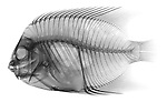X-ray image of a queen angelfish (black on white) by Jim Wehtje, specialist in x-ray art and design images.