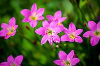 Tropical wild pink flowers with rain drops on petals, Tauono's Garden, Aitutaki Island, Cook Islands.