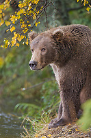 Brown bear sow, Katmai National Park, Alaska.