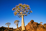 Quiver tree, Kokerboom Forest Preserve, Namibia