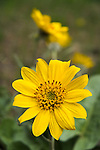 Arrow-leaved Balsamroot growing wild in North Idaho