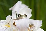 Pacific treefrog (Pacific chorus frog), Hyla regilla (Pseudacris regilla) on Douglas iris, Iris douglasiana