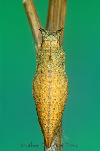 Papilio Troilus- spicebush swallowtail chrysalis, soon to transform to next instar or developmental stage