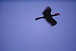 Great-pied hornbill, Thailand