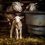 20160328 Frederick Sheep-Dogs