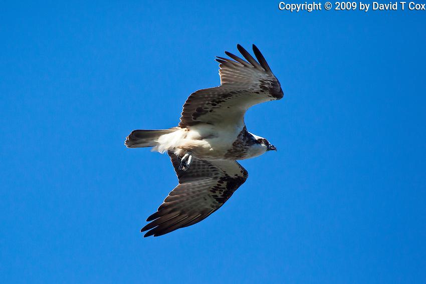 Osprey, Woody Head, BundjalungNP, NSW, Australia