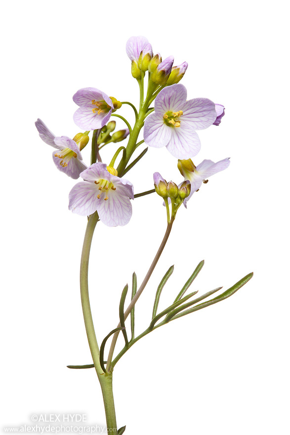 Cuckoo Flower / Lady's Smock (Cardamine pratensis) | Alex Hyde