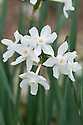Narcissus papyraceus (syn. Narcissus 'Paper White Grandiflorus'), glasshouse, early March.