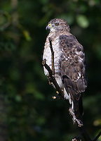 Broad-winged Hawk perched on a branch