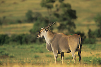 A Giant Eland (Taurotragus derbianus)on the savanna, Masai Mara Game Reserve, Kenya, Africa.