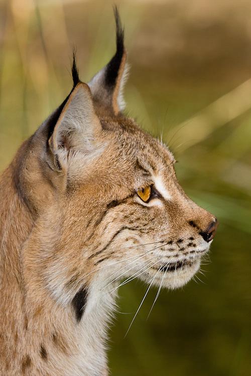 Siberian Lynx portrait - CA