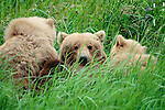 Brown bear(s), Alaska