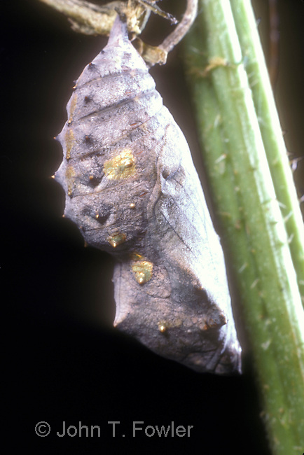 Red Admiral Butterfly chrysalis