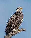 American Bald Eagle, Immature
