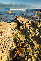 Rocky shore of Kaikoura coastline with Kaikouras mountains in background and seaweed, Kaikoura, Marlborough Region, South Island, East Coast, New Zealand