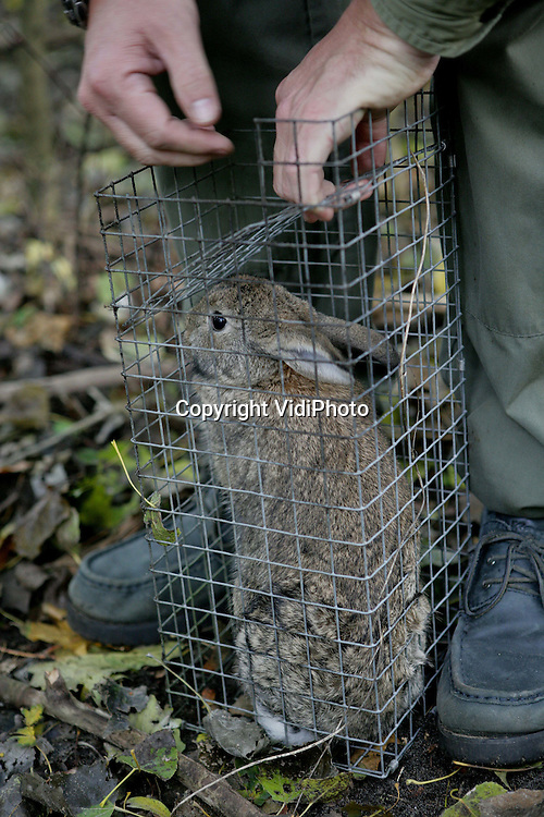ZWIJNDRECHT  - Op nog maar enkele plaatsen in Nederland wordt gejaagd met fretten. Jachtopziener Willem Vrijenhoek doet dat op dit moment in het Noordpark in Zwijndrecht om konijnen te verjagen die de waterkering ondermijnen en een sportpark ondergraven. De fretten jagen de konijnen uit hun hol, waarna Vrijenhoek ze in een kooi opvangt. Vervolgens krijgen ze vakkundig de genadeklap. Het vlees gaat onder meer naar voedselbanken en bejaardenhuizen. De jachtopziener wordt ook vaak ingeschakeld door boeren die willen voorkomen dat hun voertuigen omslaan door konijnenholen en -gangenstelsels. Foto: VidiPhoto