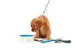 20100609 Golden Retriever Puppy with Supplies