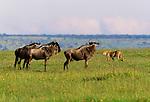 Cheetah and wildebeest, Masai Mara National Reserve, Kenya