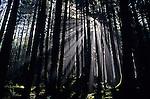 Prairie Creek Redwwod State Park  with sun breaking through trees in fog creating crepuscular rays Northern California USA