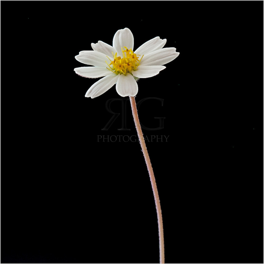 All over the south, the blackfoot daisy is a common beautiful Texas Wildflower that grows wild and is also cultivated in gardens. Blackfoot daisies have 8-10 white petals surrounding a golden interior. These Texas wildflowers bloom across the southern region from March through November.