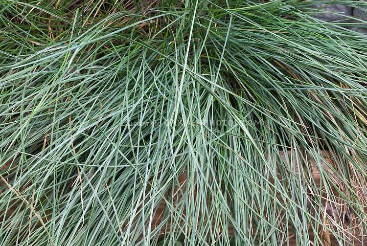 Festuca glauca 39 elijah blue 39 plant flower stock for Small blue ornamental grass