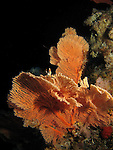 Orchid Island/Taiwan -- A beautiful gorgonian sea fan