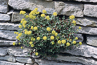 Eriogonum umbellatum 'Majus' growing from crevice vertical garden in stone wall, alpine plant in bloom yellow flowers. Subalpine sulphur flower aka wild buckweet in bloom