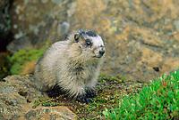 Young hoary marmot, Denali National Park, Alaska
