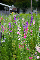 Cool season annual heirloom flower, larkspur, at flower farmer Lisa Ziegler Gardeners Workshop Farm