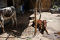 Two cows and a goat in the courtyard of Sherbano's family living unit. <br />