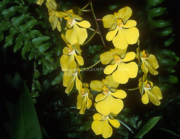 Oncidium onustum 'Everglades,' AM/AOS awarded orchid species, aka Zelenkoa onustum 'Everglades'. native to Panama, Columbia, Ecuador, Peru