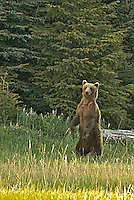 A male grizzly bear (boar) stands to enhance his sense of smell.