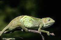 CH25-037z  African Chameleon - color change due to temperature difference, under leaf skin was cooler, see CH25-035z - Chameleo senegalensis