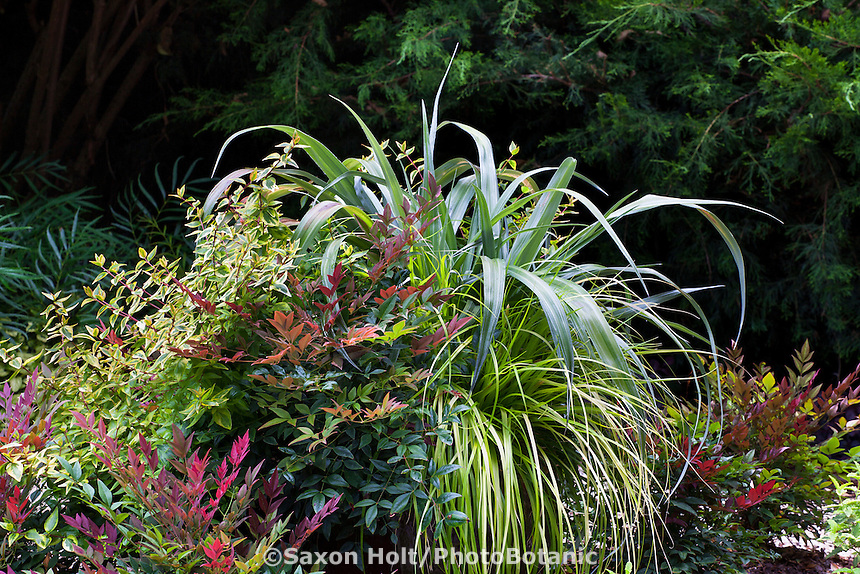 """Container of foliage plants with Nandina """"Obsession', Astelia 'Silver Shadow', Carex 'Everillo' and Abelia 'Kaleidoscope'; Sunset Western Garden Collection"""
