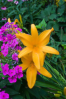 Hemerocallis daylily, gold yellow orange with Phlox paniculata purple flowers, two perennials together in garden use combination in summer