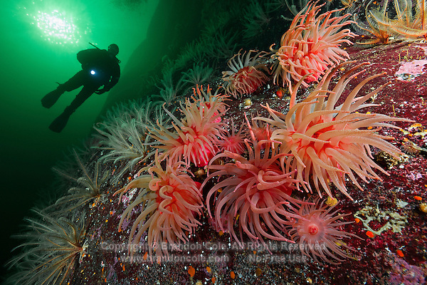 TA0622-D. Crimson Sea Anemones (Cribrinopsis fernaldi), also called Snakelock Sea Anemones. And Feather Stars (Florometra serratissima), also called crinoids or sea lilies, behind them. British Columbia, Canada, Pacific Ocean.<br /> <br /> Photo Copyright &copy; Brandon Cole. All rights reserved worldwide.  www.brandoncole.com