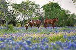 I had gone out looking for fields to capture bluebonnet images, but I also found other opportunities among these Texas Wildflower scenes. Here, I used a telephoto lens to reach this bluebonnet pictures of horses and the Texas state flower. The horses looked at me, but didn't pay me much attention. They were enjoying a lazy Texas spring evening. This Texas wildflower image comes from Ennis, Texas.