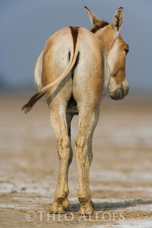 Dominant male Indian wild ass (Equus hemionus khur) rear view (wild ass of wild ass), dry season