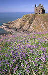 Spring bluebells looking across to Dunskey Castle high on the sea cliffs looking across the North Channel to Ireland near Portpatrick in the Rhins of Galloway Scotland UK