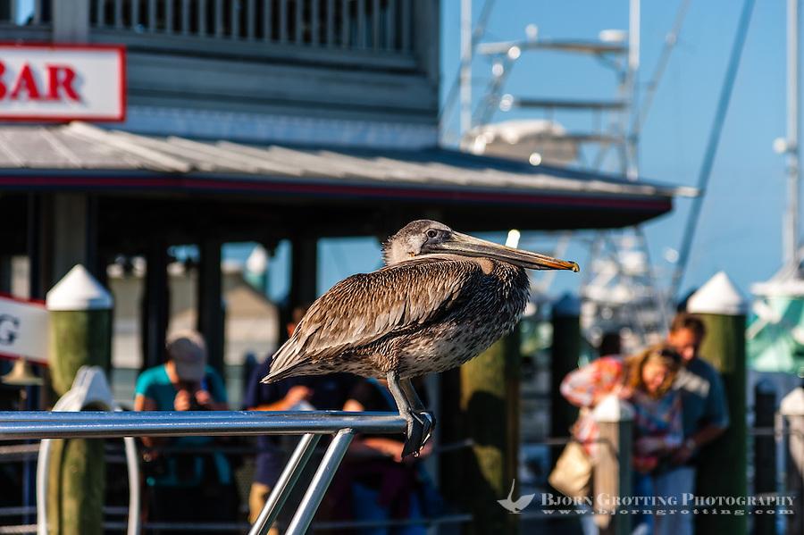 US, Florida, Key West. Juvenile Brown Pelican.