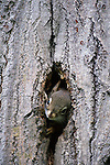 A squirrel peeks out from his home in the trunk of a tree, British Columbia, Canada
