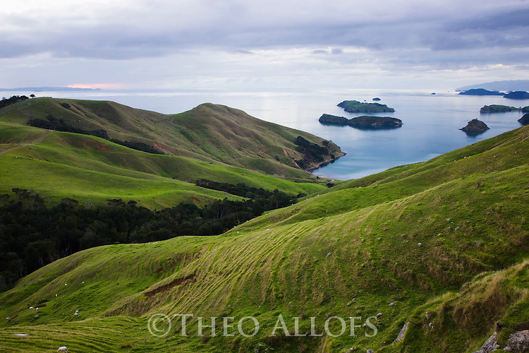 Hilly sheep meadows on east coast of Coromandel Peninsula, North Island, New Zeland