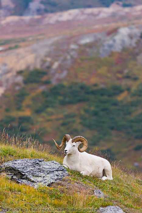 Large, full curl Dall sheep ram on a mountain ridge in Denali National Park, interior, Alaska.