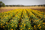 A field of yellow wildflowers near Fredericksburg, Texas, Friday, July 24, 2009. (Darren Abate/pressphotointl.com)